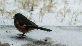 Towhee orientale - inverno fotografia stock