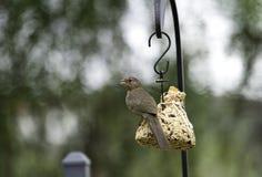 Towhee på en fågelförlagematare Arkivfoto