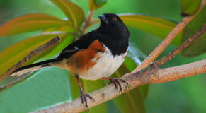 Towhee - ptak w drzewie Zdjęcia Stock