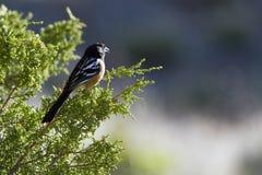 Towhee repéré, maculatus de Pipilo Photo stock