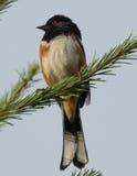 Towhee Rufous-parteggiato (maschio) fotografia stock libera da diritti