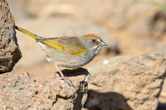 Towhee Verde-munito, Oregon fotografia stock libera da diritti