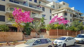 Town's sidewalk gardening with Judas trees in Israel. Ness Ziona, Israel-March 11, 2018: Judas tree known for its prolific display of deep pink flowers in stock photo