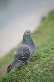 Town Blue-grey Dove, Bird Royalty Free Stock Photos