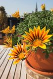 Town garden. Flowers (Garzania) in terracotta pot on a wooden table on a balcony situated in a town. The town is represented only by a church in the background Royalty Free Stock Image