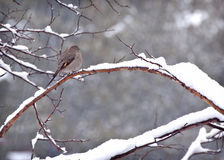 Townsend's Solitaire Bird in Snow. A Townshend's Solitaire Bird (Myadestes townsendi) sitting on a branch with it's feather fluffed to keep royalty free stock photography