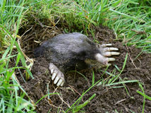 Townsend's Mole - Scapanus townsendii Royalty Free Stock Photography
