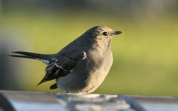 Townsend's Solitaire Stock Photography