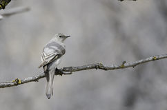 Townsend's Solitaire Royalty Free Stock Photo