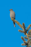 Townsend's Solitaire Stock Photos