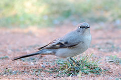 Townsend's Solitaire Royalty Free Stock Image