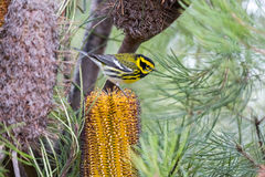 Townsend`s Warbler Setophaga townsendi perched on Hairpin Banskia Banksia spinulosa. Adult, Male spotted in Santa Cruz, California, USA Stock Images