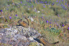 Townsend'sChipmunks Photo libre de droits