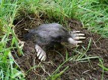 Townsends Mole - Scapanus-townsendii Lizenzfreie Stockfotografie