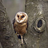 Towny owl Royalty Free Stock Photography
