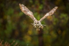 Towny owl into forest royalty free stock photo