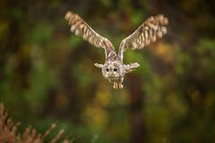 Towny owl into forest royalty free stock photos