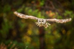 Towny owl into forest stock photo