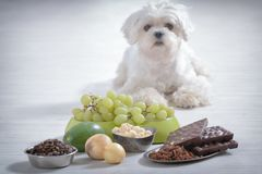 Toxic маленькой собаки и еды к нему Стоковое Фото