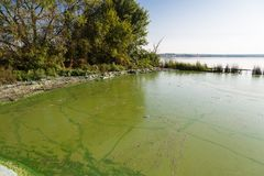 Toxic algae of water . Ecological catastrophy. Dirty green water in the reservoir. Contamination by toxic algae in water surface. Ecological catastrophy royalty free stock photography