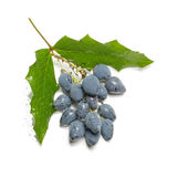 Toxic blue berries isolated Stock Photo