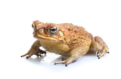 Toxic Cane Toad Royalty Free Stock Images