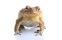 Toxic cane toad Stock Image