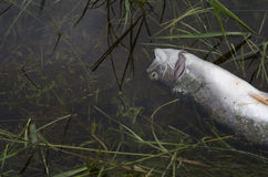 Toxic dead fish in polluted water Stock Images