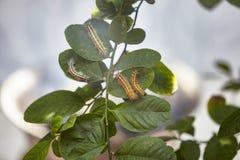 Toxic gypsy moths prevention using fogging stock image