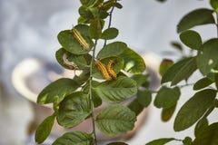 Toxic gypsy moths prevention using fogging stock photos