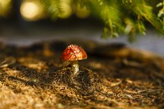 Toxic and hallucinogen mushroom Amanita muscaria. In closeup Stock Image