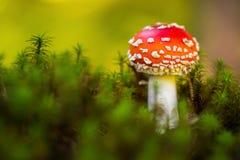 Toxic mushroom Amanita muscaria. Toxic and hallucinogen mushroom Amanita muscaria in closeup Royalty Free Stock Photography