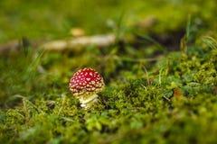 Toxic and hallucinogen mushroom Amanita muscaria. In closeup Stock Images