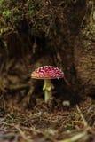 Toxic and hallucinogen mushroom Amanita muscaria. In closeup Royalty Free Stock Photo