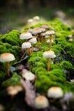 Toxic inedible mushrooms Royalty Free Stock Photos