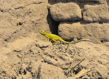 Toxic lizard Stock Photography