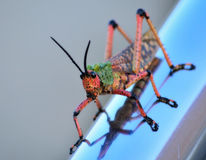 Toxic Milkweed Grasshopper Royalty Free Stock Images