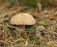Toxic mushroom Stock Photos