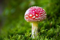 Toxic mushroom Amanita muscaria. Toxic and hallucinogen mushroom Amanita muscaria in closeup Royalty Free Stock Photos