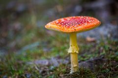 Toxic mushroom Amanita muscaria. Toxic and hallucinogen mushroom Amanita muscaria in closeup Stock Photos