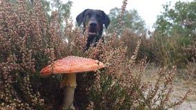 Toxic mushroom. Dog found a toxic mushroom Stock Image