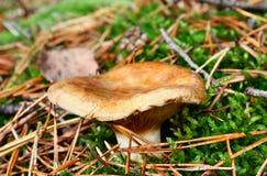 Toxic mushroom Royalty Free Stock Photography