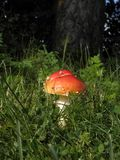 Toxic mushrooms - amanita muscaria Royalty Free Stock Image
