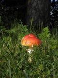 Toxic mushrooms - amanita muscaria Royalty Free Stock Image
