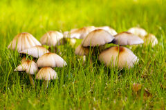 Toxic mushrooms group in the fall. Royalty Free Stock Photos