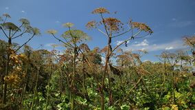Toxic perennial herb in meadow. Hogweed is poisonous, actively spreading plant