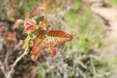 Toxic Poison Oak Leafs On Side Of Trail Close Up High Quality royalty free stock photos