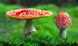 Toxic Toadstools Royalty Free Stock Photography