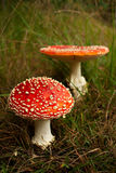 toxic wild fly mushroom amanita muscaria Royalty Free Stock Image