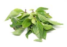 Toxic witout травы базилика для варить Стоковые Изображения RF